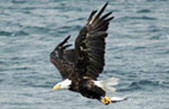 Bald Eagle Photo from Ocean Watch Boat Tour