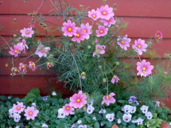 A Border of Pink Cosmos & Pansies